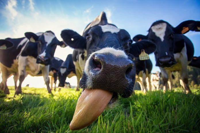 Как работают современные молочные фермы