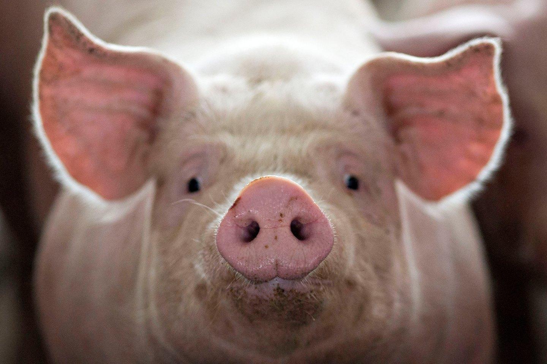 Свиноводческие хозяйства каталог