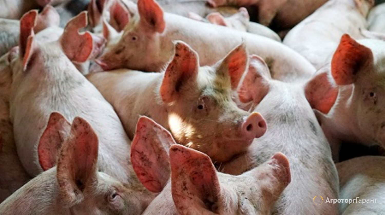 Свиньи и свиноводство в России, что считается успехом ?