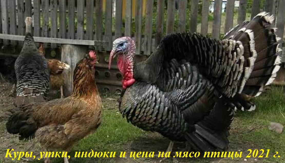 Куры, утки, индюки – крупнейшие производители и цена на мясо.