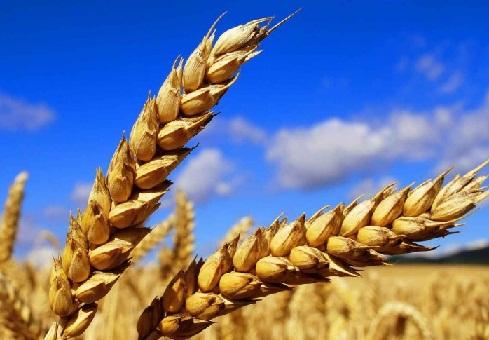 Мировое производство зерновых может достигнуть нового исторического максимума