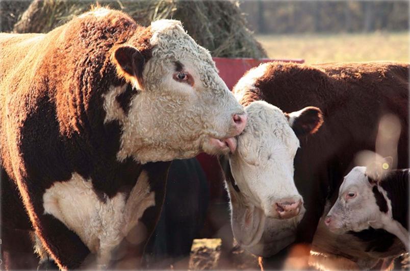 Мясное скотоводство - слабое звено России