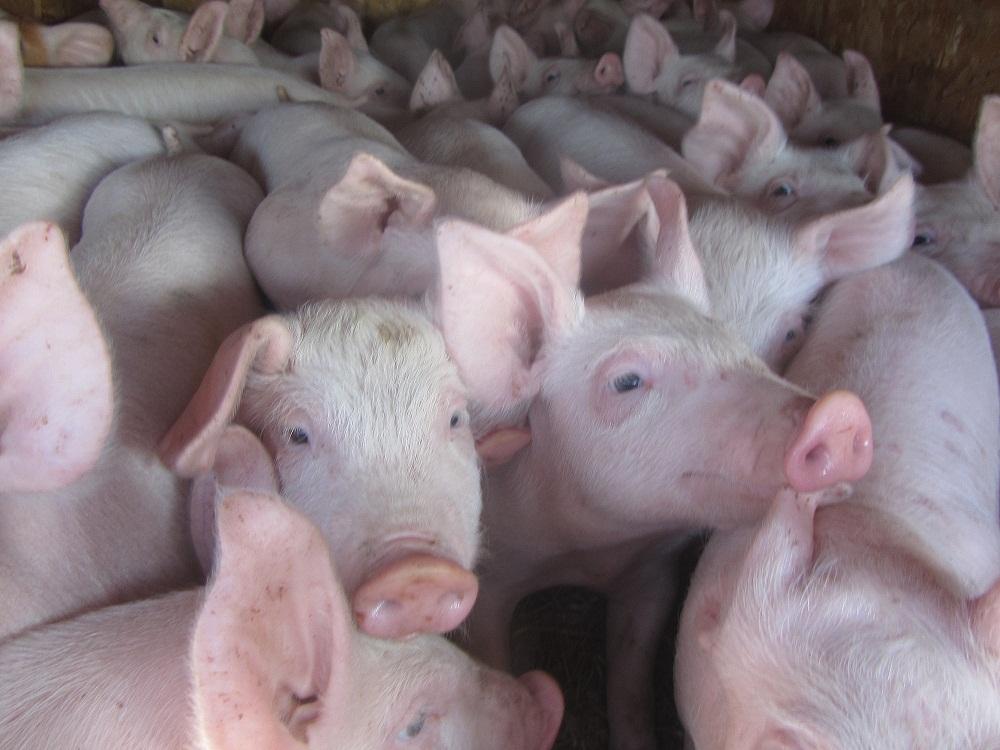 Как работают современные свинокомплексы?