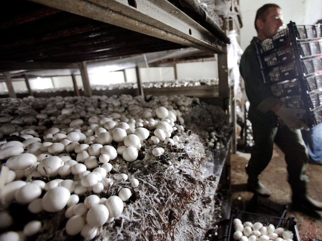 Как выращивают шампиньоны на грибных фермах