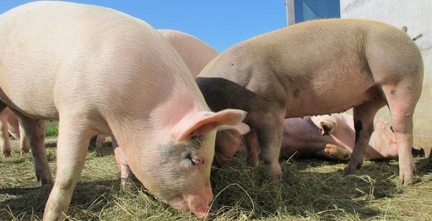Эко  мясо или где купить  свиней с фермерского подворья