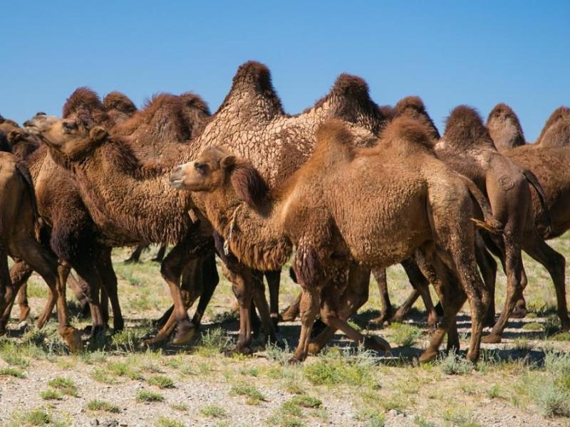 Верблюды беспредельщики.