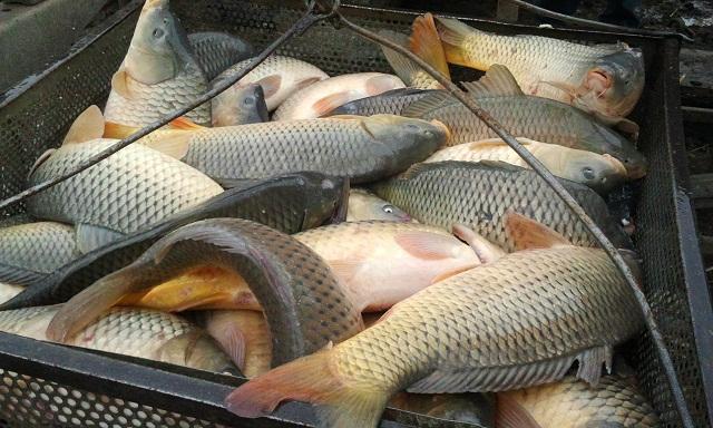 Купить рыбу белый амур в москве