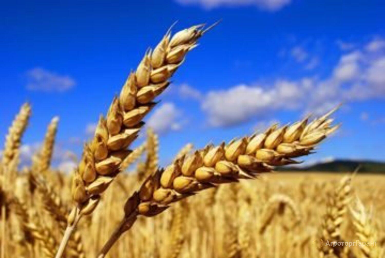 Объявление Семена озимой пшеницы сорт Алексеич ЭС/РС1 в Ростовской области