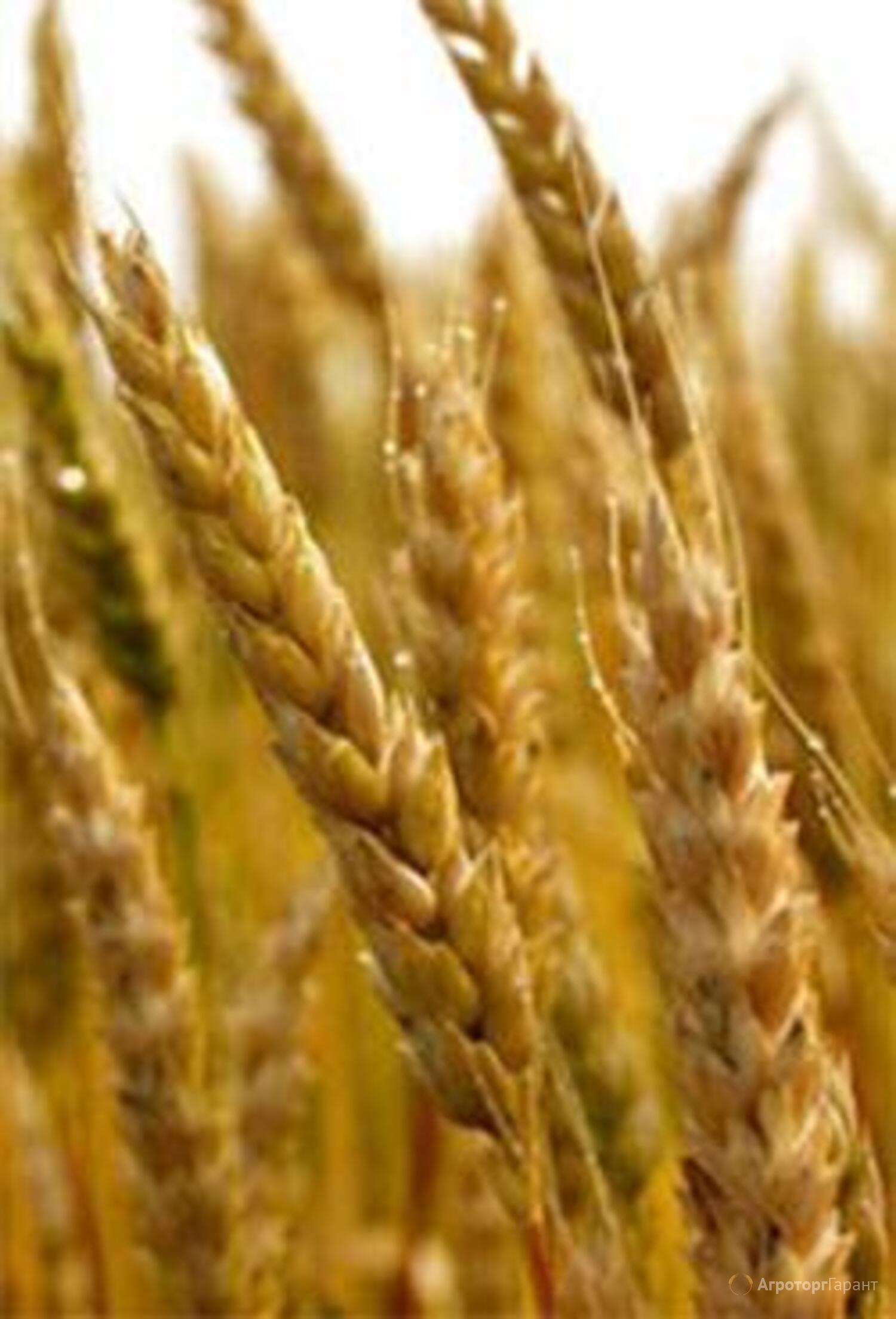 Объявление Семена пшеницы озимой  :Лилит, Изюминка, Ермак, Аскет, Капитан в Ростовской области