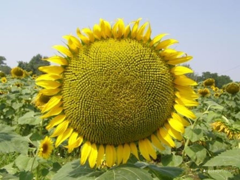 Объявление Продаю семена подсолнечника  гибрид  Меркурий F1 в Ростовской области