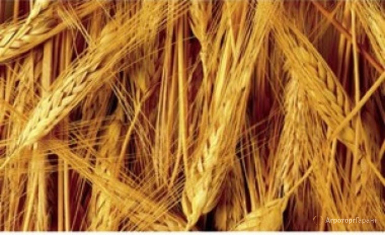 Объявление Семена ярового ячменя Щедрый ЭС/РС1 в Ростовской области