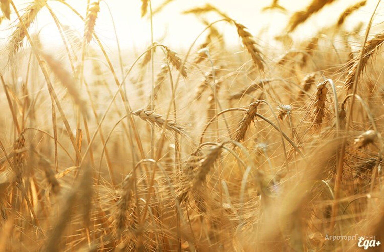 Объявление Семена пшеницы озимой  : Граф, Степь, Веха, Сварог в Ростовской области