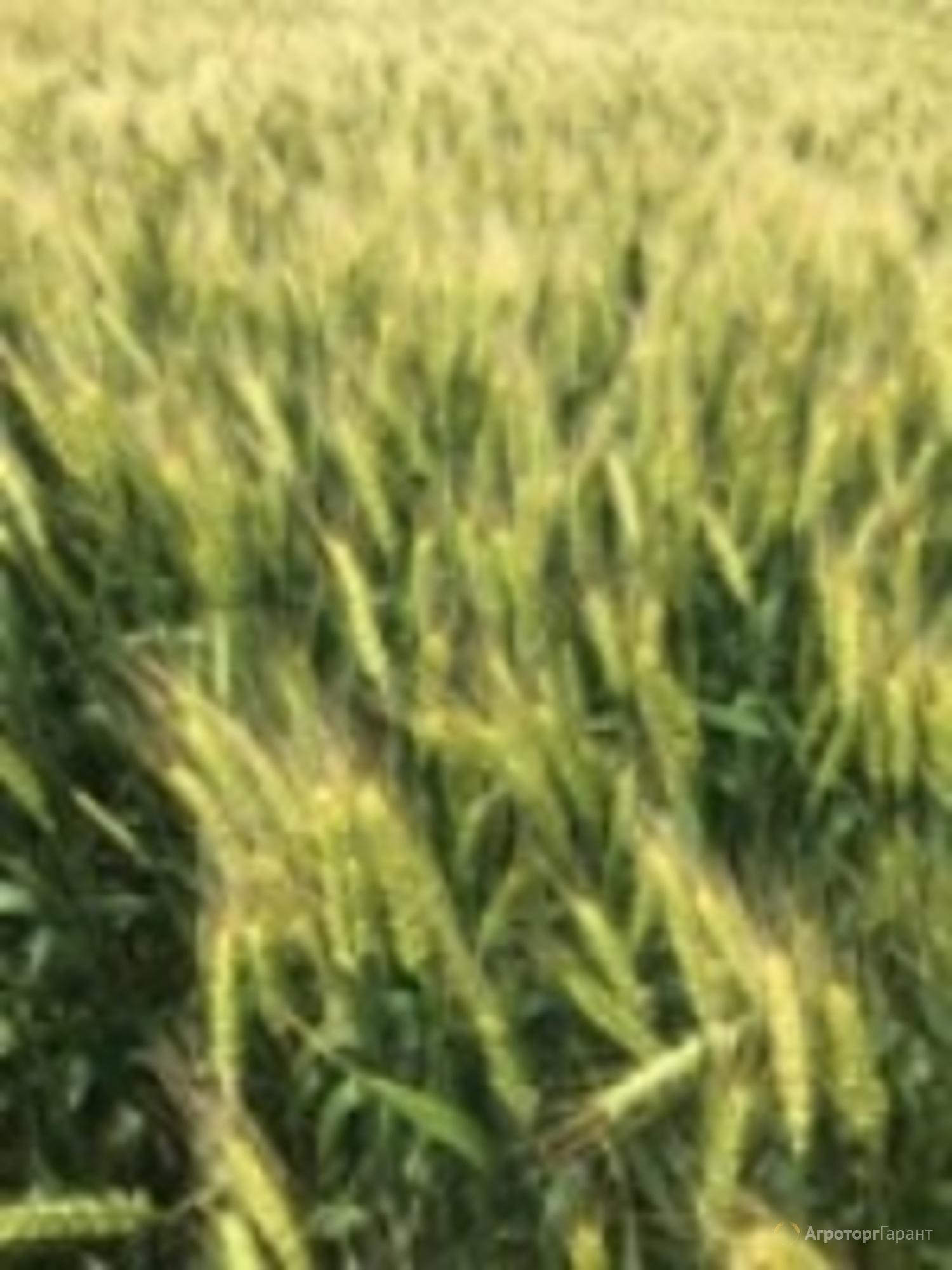 Объявление Семена озимой мягкой пшеницы сорт Ермак ЭС/РС1/РС2 в Ростовской области
