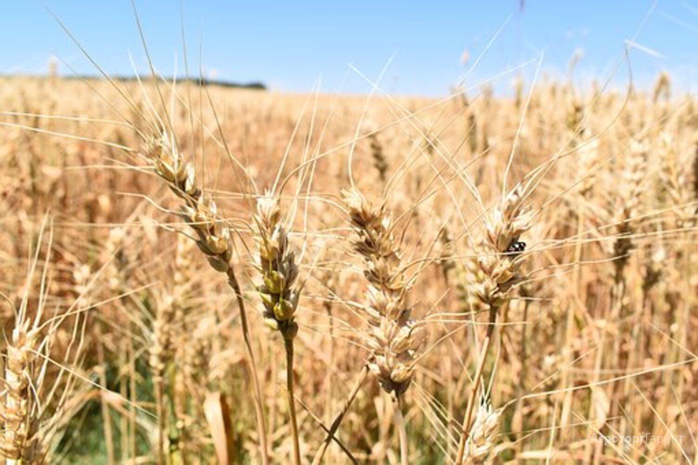 Объявление Семена Озимой пшеницы Таня в Ростовской области