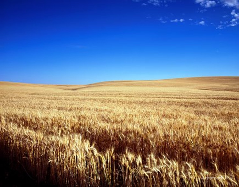 Объявление Семена Озимой пшеницы Гром в Ростовской области