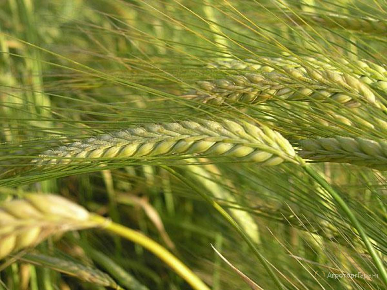 Объявление Семена ярового ячменя Вакула ЭС/РС1 в Ростовской области