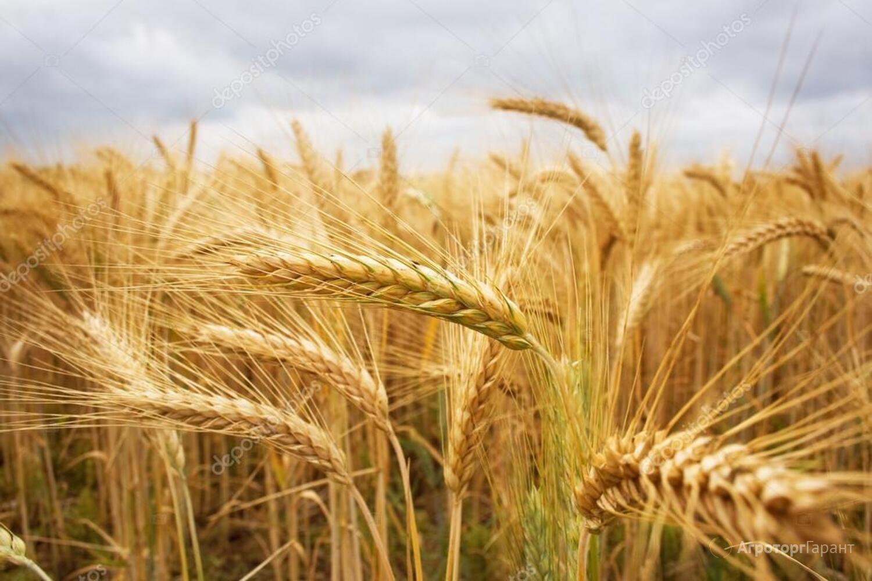 Объявление Семена пшеницы озимой  : Дон Эра, Золушка, Августа, Дон Эко в Ростовской области