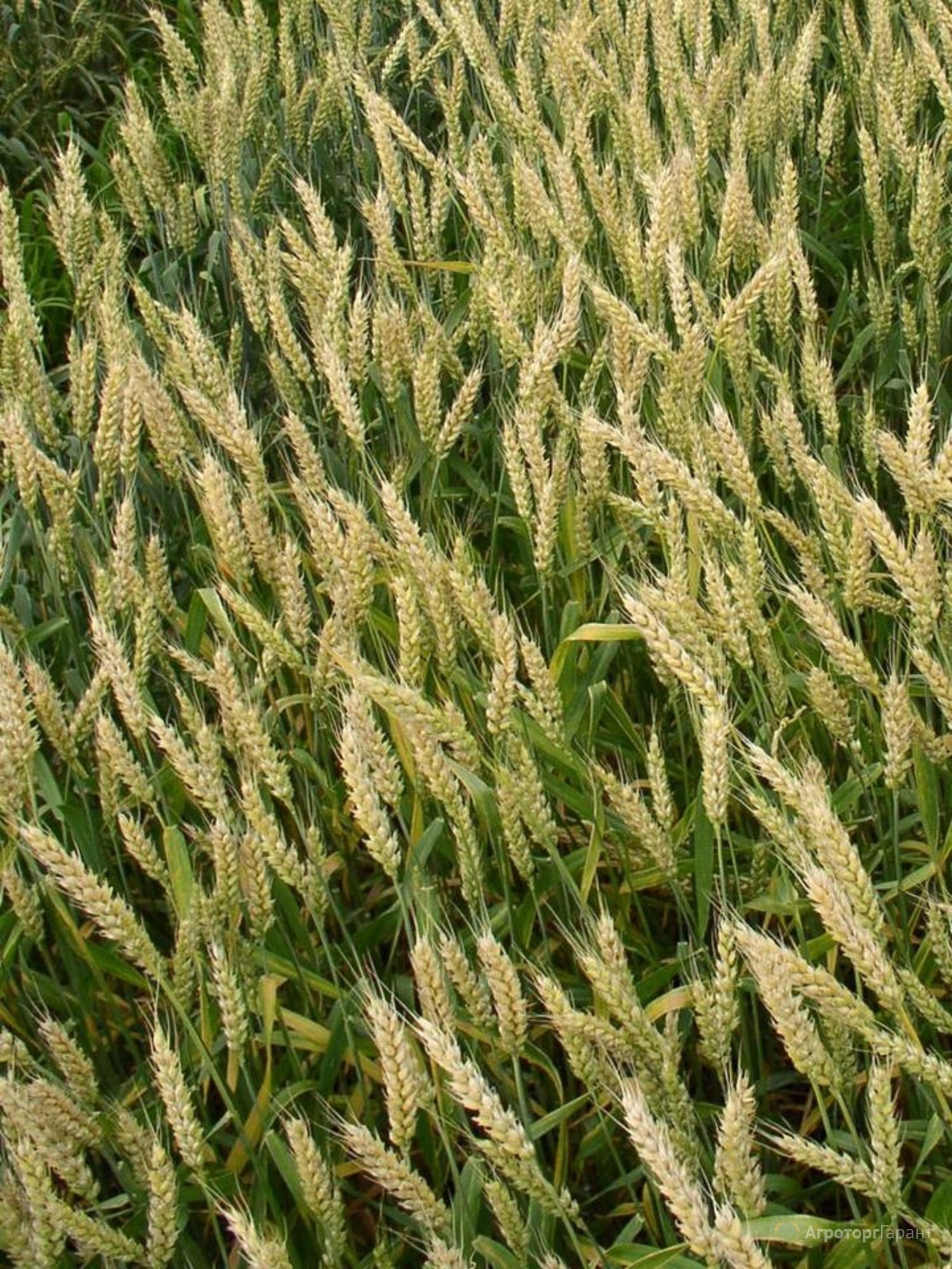 Объявление Семена озимой пшеницы сорт Гром ЭС в Ростовской области