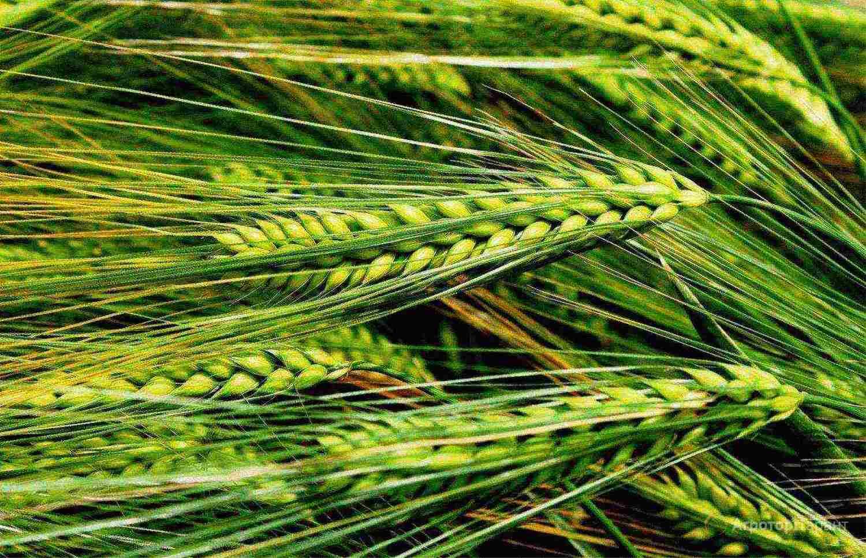 Объявление Семена ярового ячменя Эней УА в Ростовской области