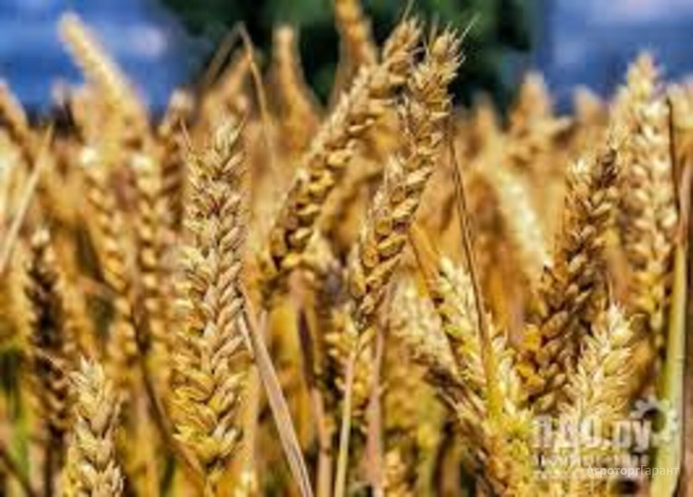 Объявление Семена озимой мягкой пшеницы сорт Безостая 100 ЭС в Ростовской области