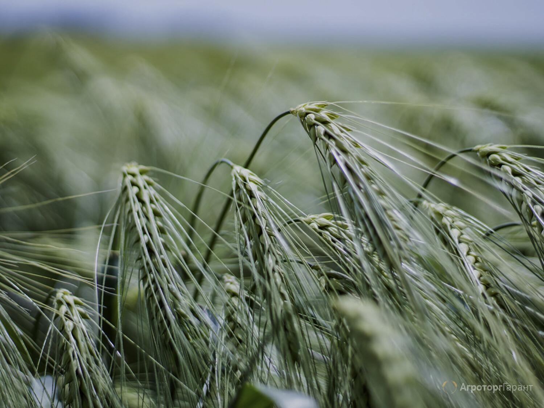 Объявление Семена озимого ячменя в Ростовской области