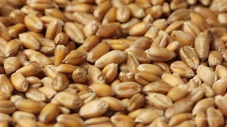 Объявление Семена озимой пшеницы Немчиновская-57 в Алтайском крае