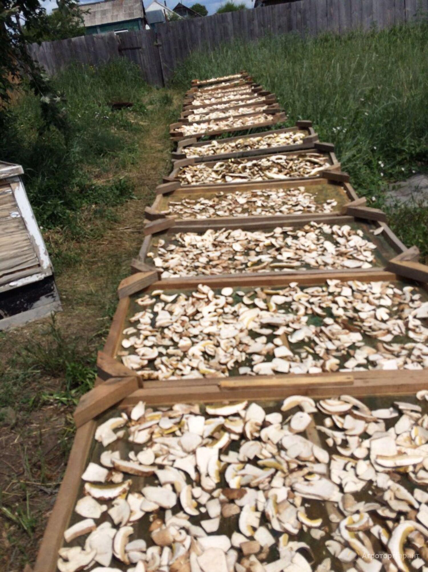 Сбор и заготовка лекарственного сырья лисички
