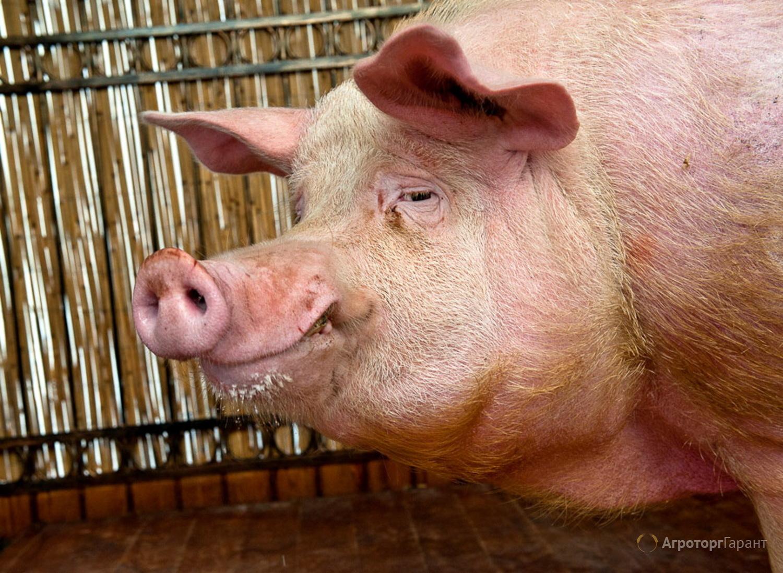 Объявление Продаю свиней живым весом в Алтайском крае