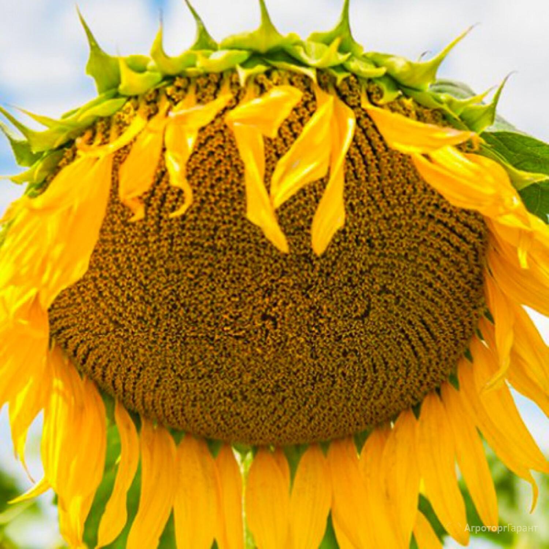 Объявление Продаю семена подсолнечника  сорт  ВНИИМК 100 в Ростовской области