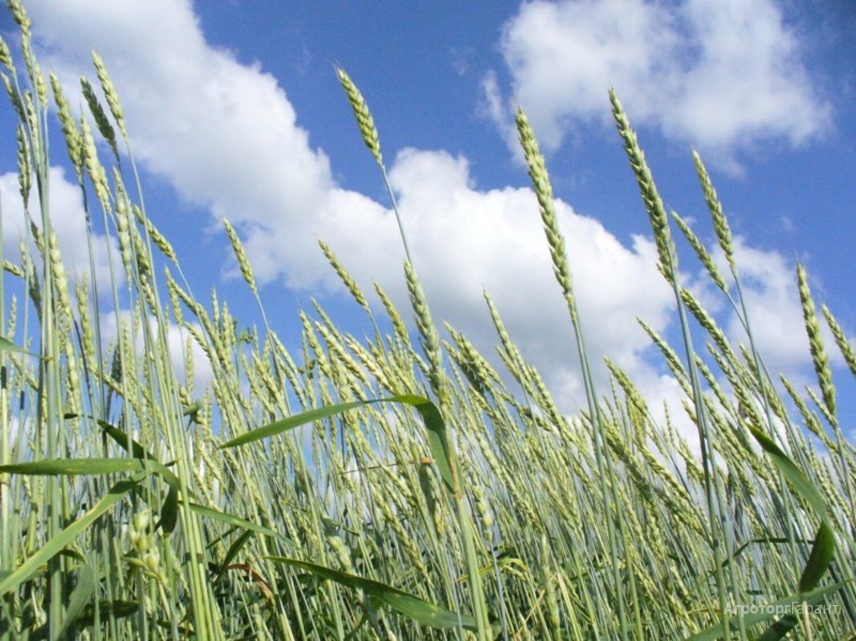 Объявление Пшеница яровая (зерно) в Москве и Московской области