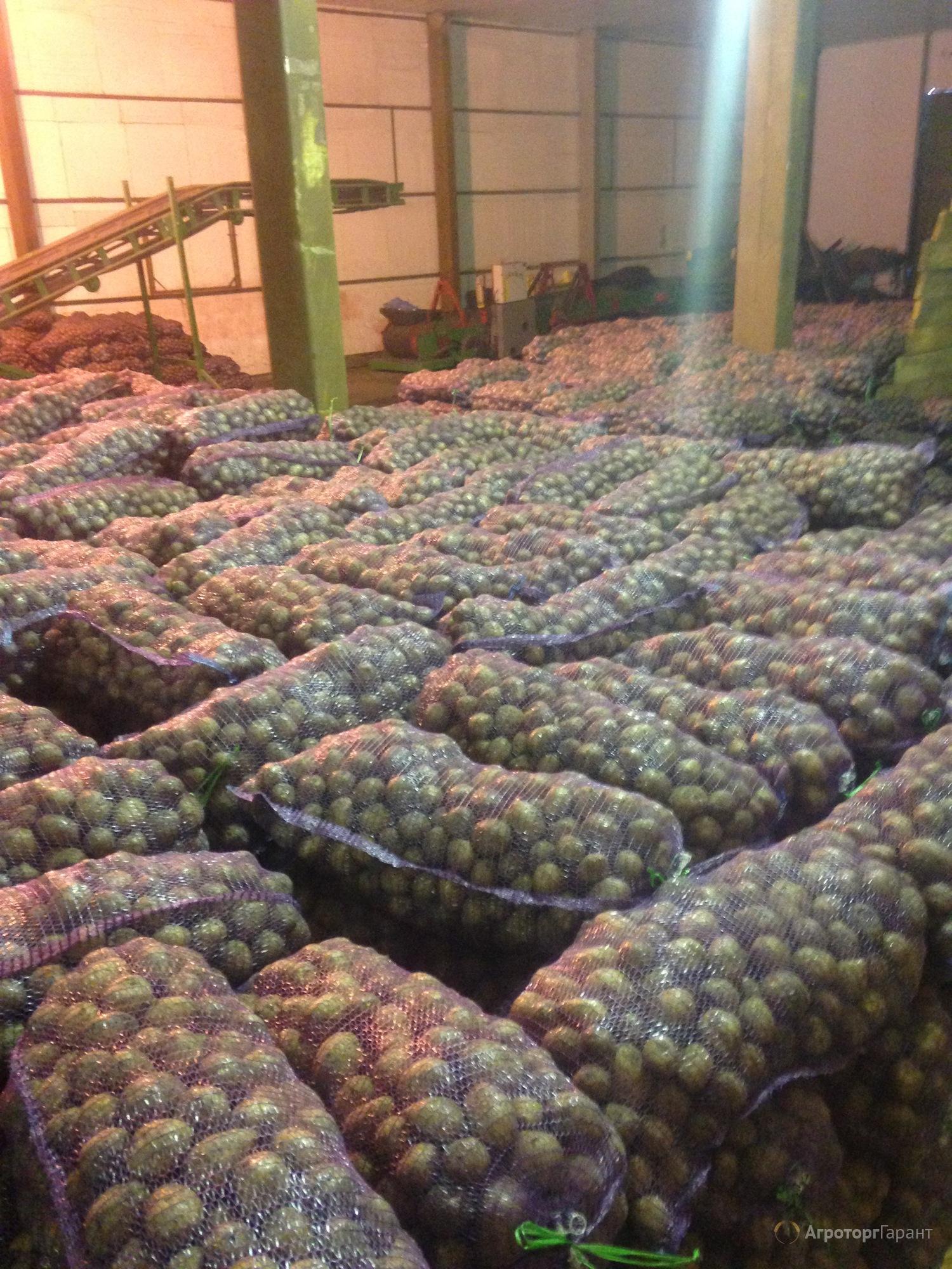 Картофель Гала на прямую от производителя