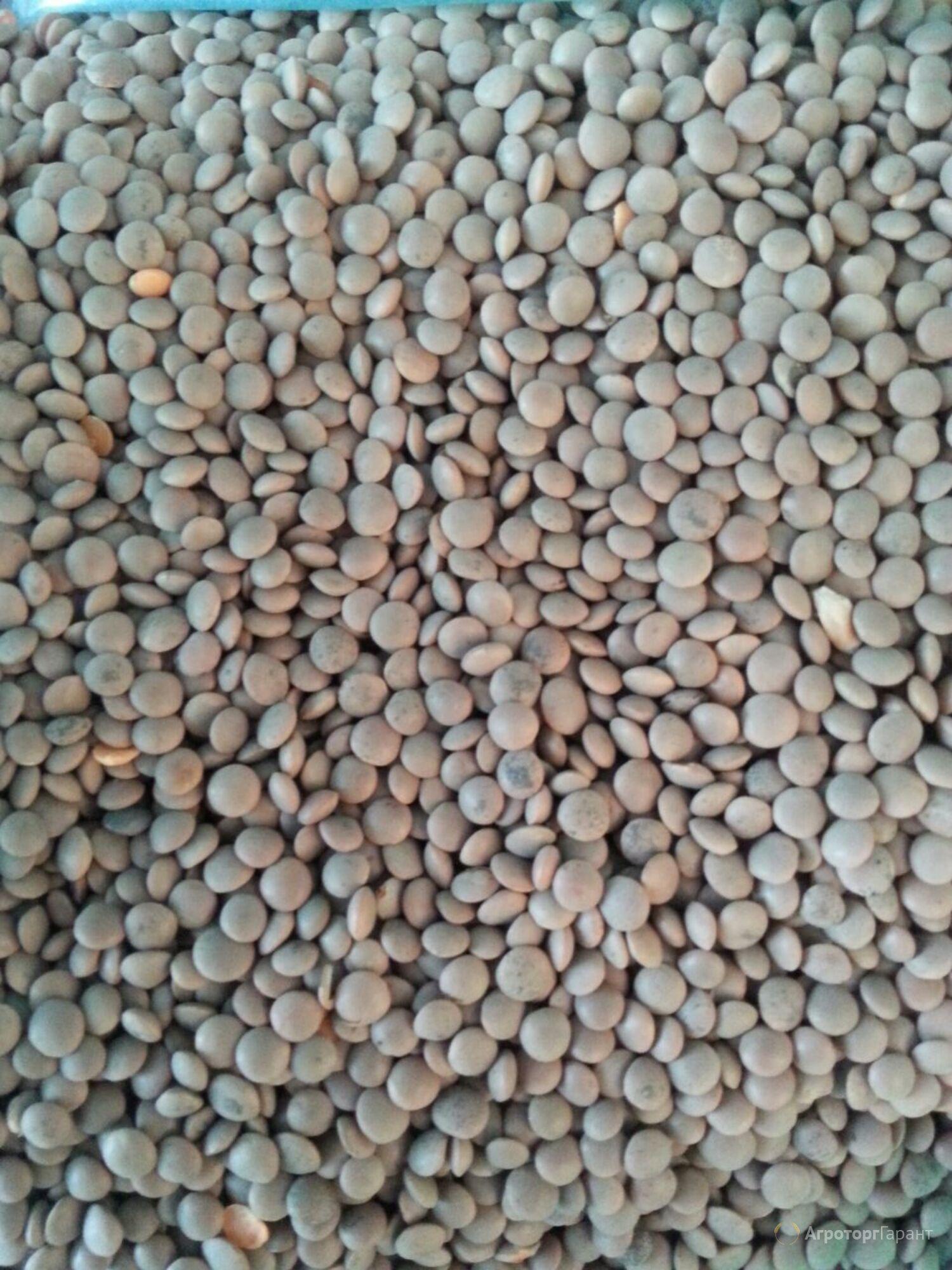Объявление Семена чечевицы в Ростовской области