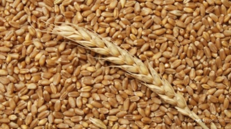 Объявление Пшеница, зерно продаем франко-вагон FCA в Краснодарском крае