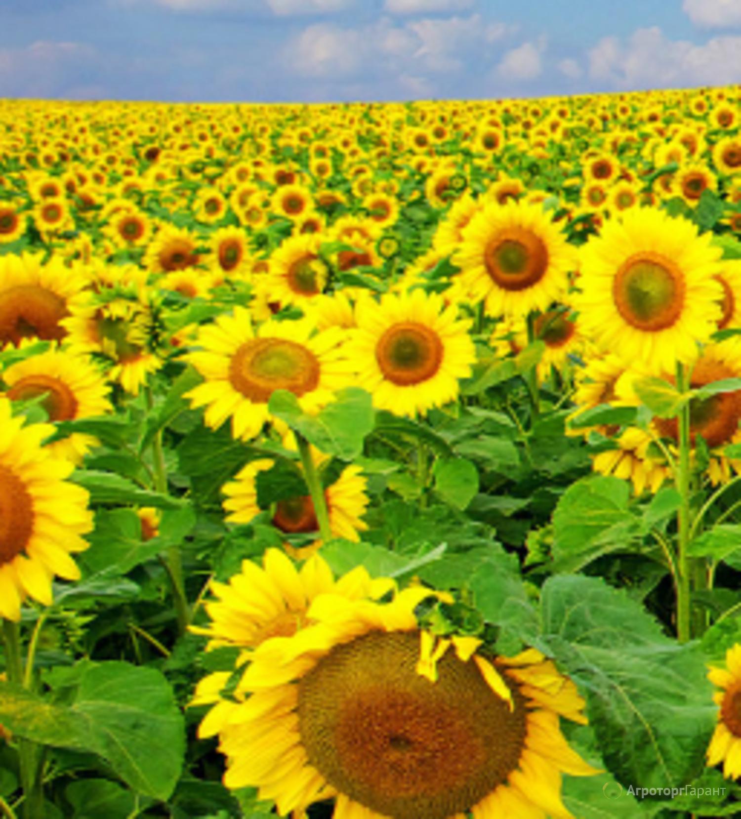 Объявление Семена подсолнечника гибрид F1 Мартын в Ростовской области