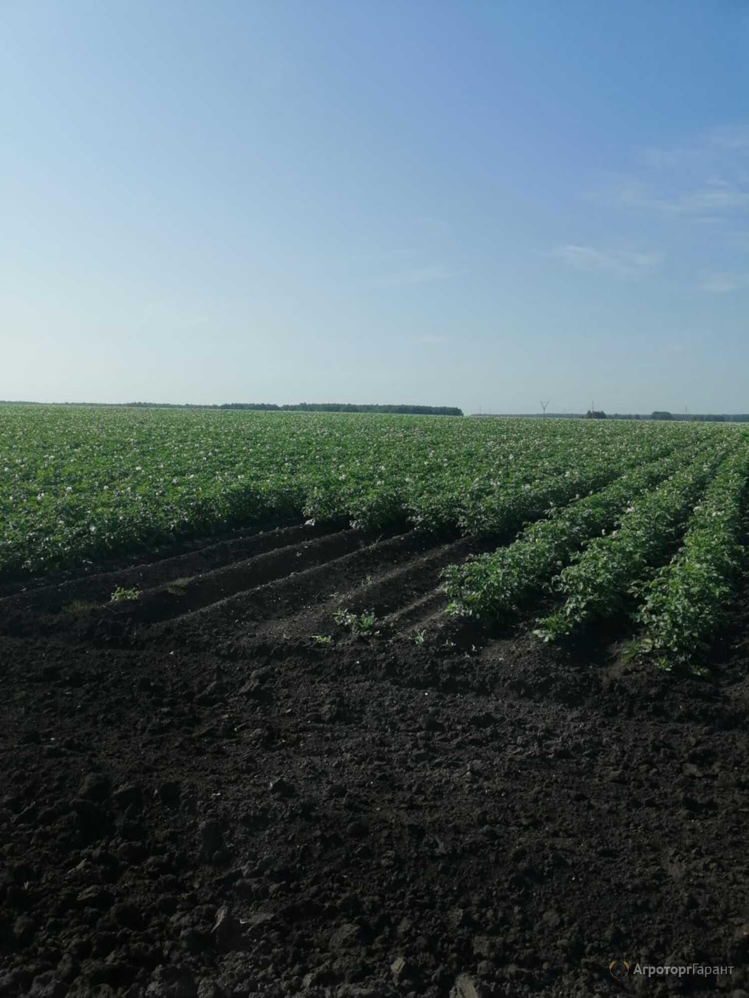 Объявление Картофель продовольственный белый и красный 22 рублей в Свердловской области