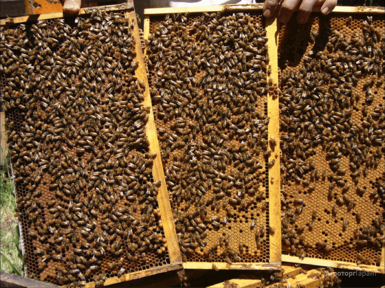 Объявление Продам пчелопакеты оптом и в розницу. в Воронежской области