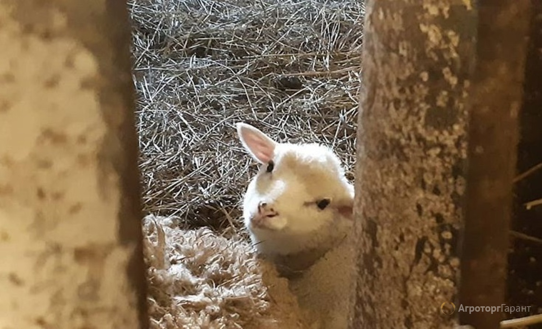 Объявление Продам стадо овец Романовские-Тексель в Нижегородской области