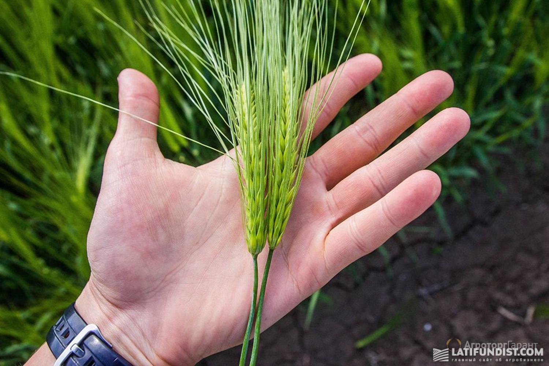 Объявление Ячмень сорт Ратник элитные семена в Ростовской области