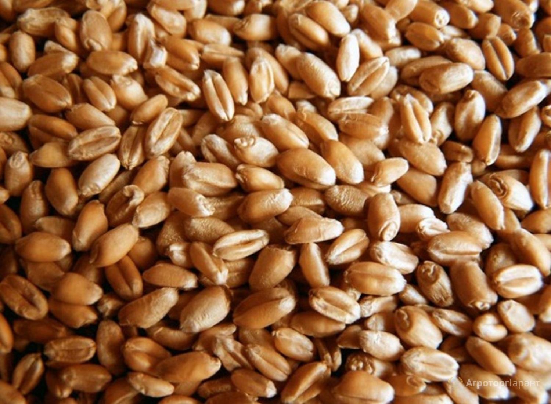 Объявление Пшеница твердых сортов в Алтайском крае