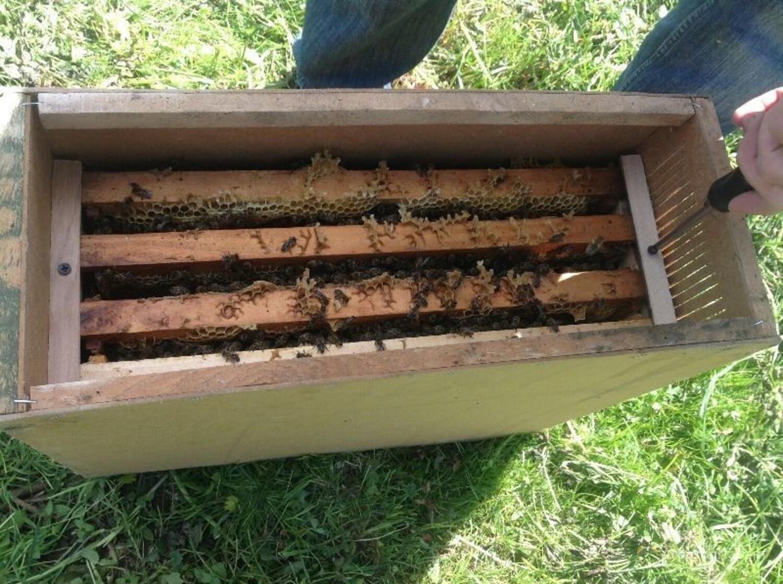 Объявление Пчелопакеты Карпатка, Бакфаст, Карника Тамбов в Костромской области