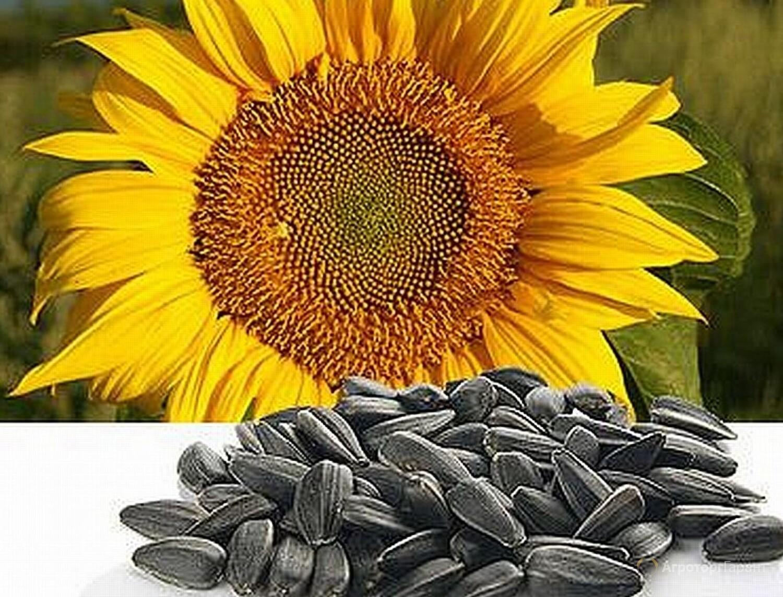 Семена масличной семечки подсолнечника. 5000 руб/единица.