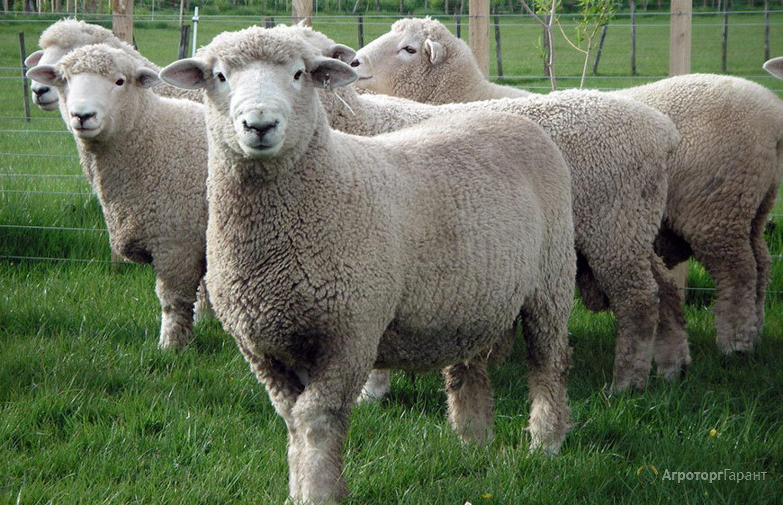 Объявление Куплю на племя ярок,овцематок мясных пород в Омской области