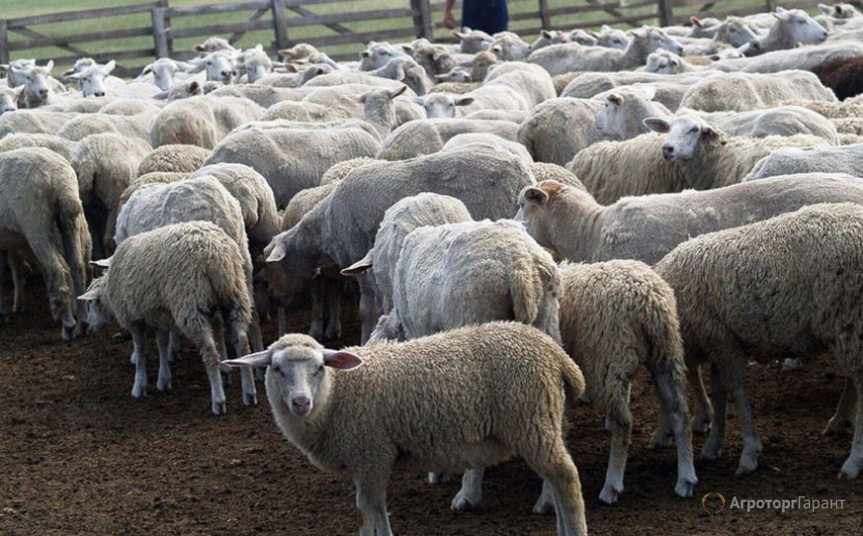Объявление Ягнята мясных пород живым весом. 150 руб/кг. в Республике Калмыкия