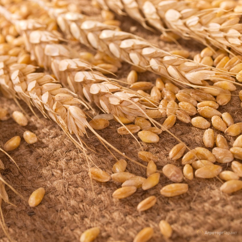 Объявление Пшеница 3 класса оптом от производителя. 16500 руб/тонна. в Волгоградской области