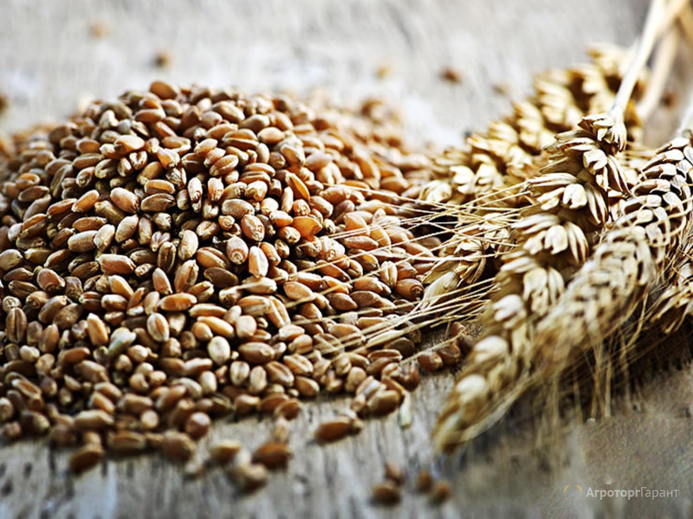 Объявление Реализуем Пшеницу 3, 4, 5 класса, качество ГОСТ. в Пермском крае