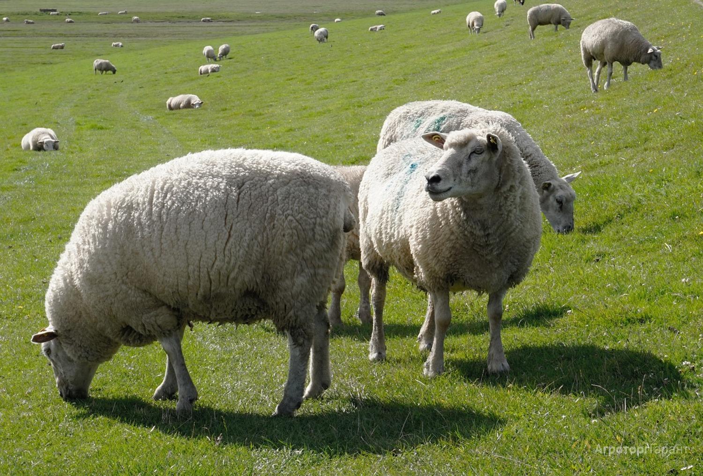 Объявление Овцы в Чеченской Республике