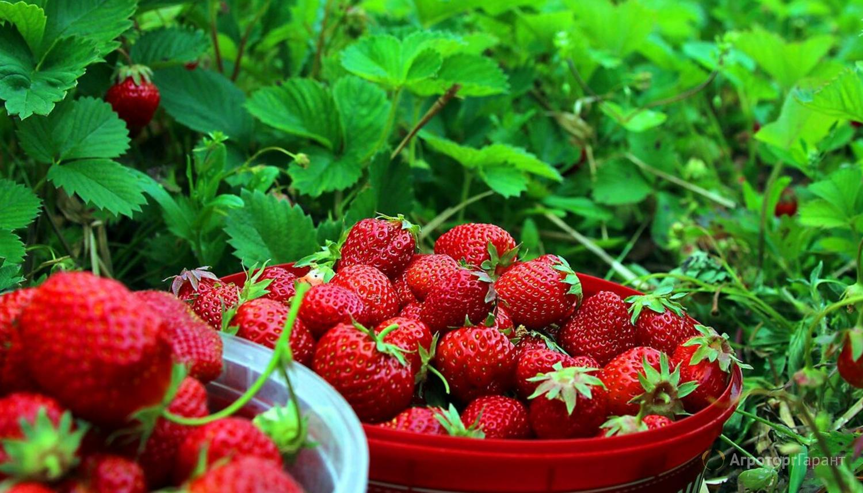 Объявление Продаем клубнику с полей в Ставропольском крае