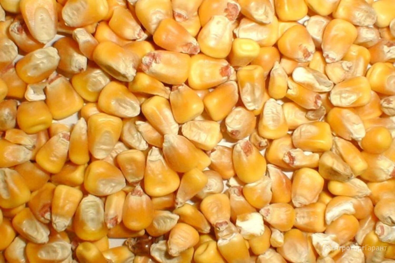 Кукуруза фуражная от производителя 10200 руб/тонна