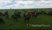 Объявление Телки с телятами и телки красно степные 223 гол в Республике Татарстан