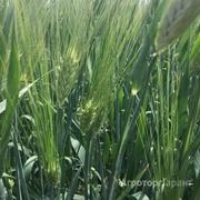 Объявление ООО Агроастра предлагает приобрести семена озимой пшеницы в Ростовской области